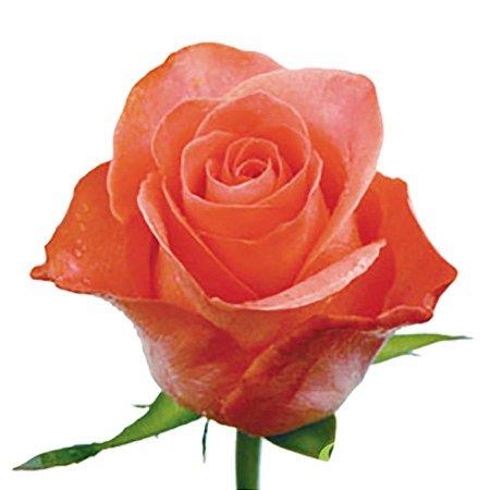Rosas Laranja - Pacote com 20 unidades - Escolha o tamanho abaixo: