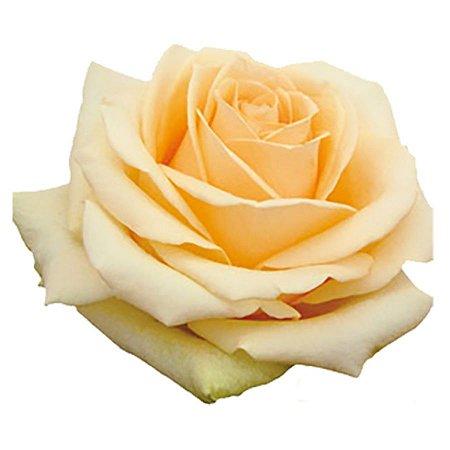 Rosas Chá - 01 Pacote com 20 unidades - Escolha o tamanho abaixo: