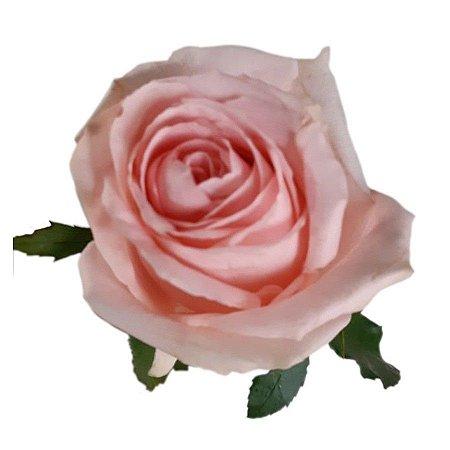 Rosas Luciana - 01 Pacote com 20 unidades - Escolha o tamanho abaixo: