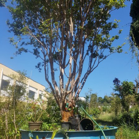Árvore de jabuticaba sabará produzindo muito 4 mts de altura