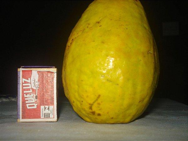 MUDA DE GOIABA VERMELHA GIGANTE (DE KILO) TAILANDESA