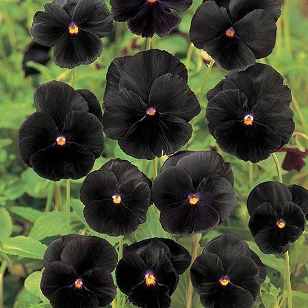 Sementes de Amor Perfeito Black: 15 Sementes