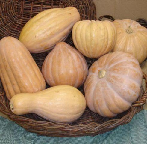 Sementes de Abóbora Jerimum de Leite (Sergipana): 10 Sementes