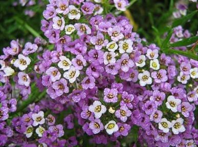 Sementes de Alyssum Violeta: 20 Sementes