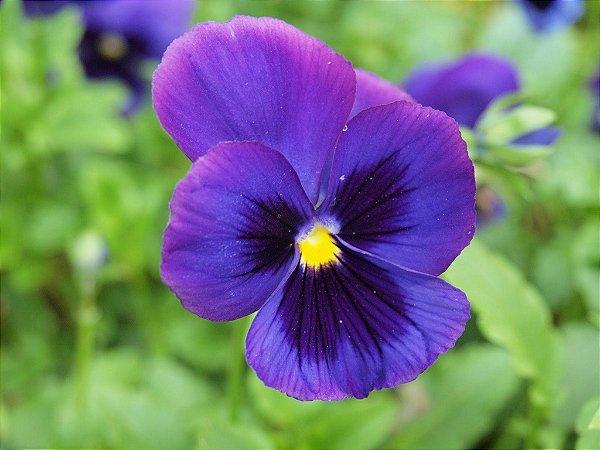 Sementes de Amor Perfeito Roxo Gigante Suíço: 15 Sementes