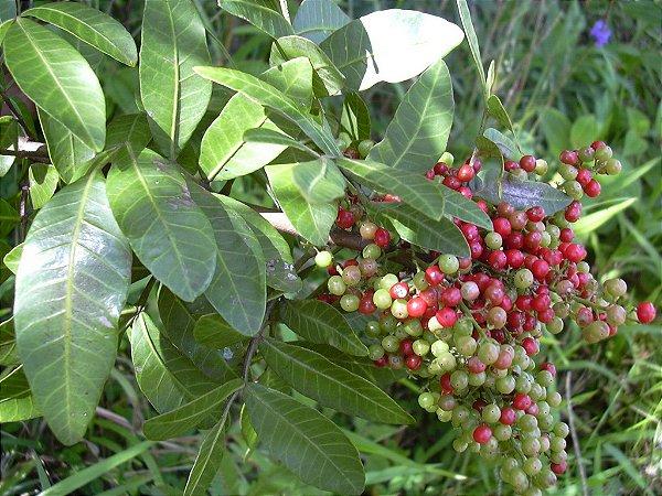 Sementes de Aroeira Pimenteira - Schinus terebinthifolius Raddi - 20 Sementes