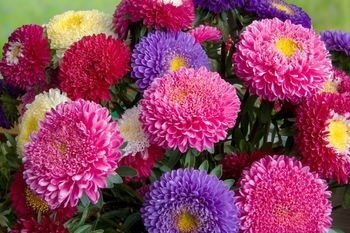 Sementes de Aster Rainha do Mercado Sortida: 15 Sementes