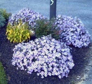 Sementes de Aster Serenata Azul: 15 Sementes