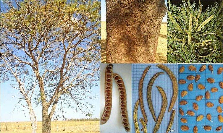 Sementes de Barbatimão - Stryphnodendron polyphyllum Mart. - 5 Sementes
