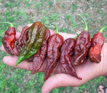Sementes de Bhut Jolokia Chocolate: 10 Sementes (Pimenta Nuclear)