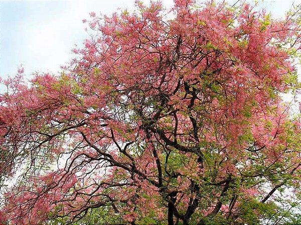 Sementes de Cássia Rosea - Cassia grandis: 5 Sementes