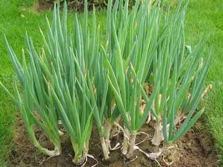 Sementes de Cebolinha Verde: 20 Sementes
