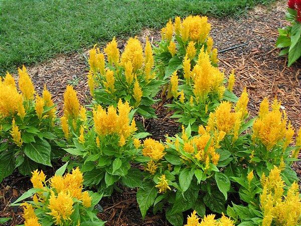 Sementes de Celósia Plumosa Amarela: 15 Sementes