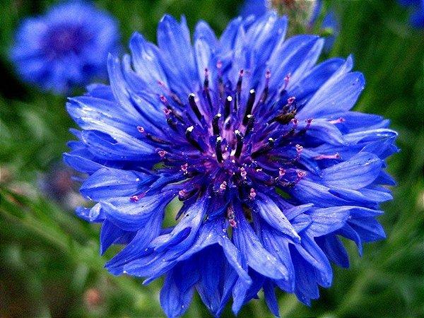 Sementes de Centáurea Azul: 20 Sementes