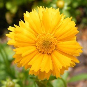 Sementes de Coreopsis Amarela: 20 Sementes