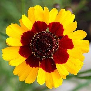 Sementes de Coreopsis Bicolor: 20 Sementes