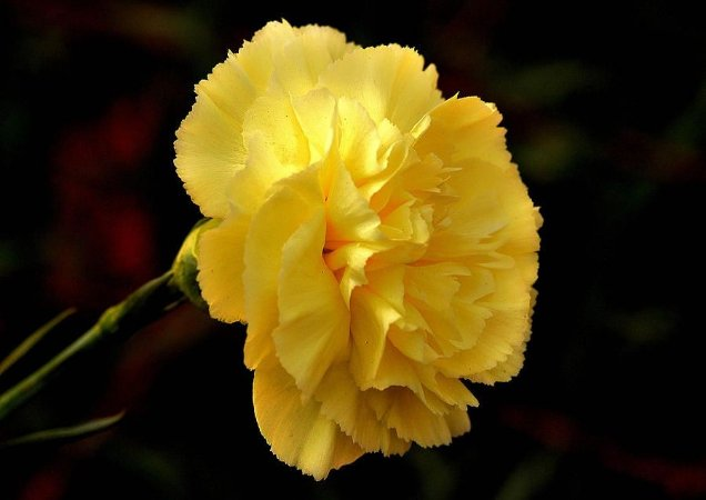 Sementes de Cravo Amarelo: 15 Sementes