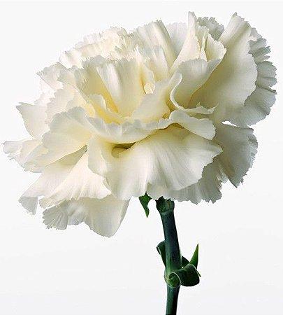 Sementes de Cravo Branco: 15 Sementes