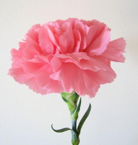 Sementes de Cravo Rosa: 15 Sementes