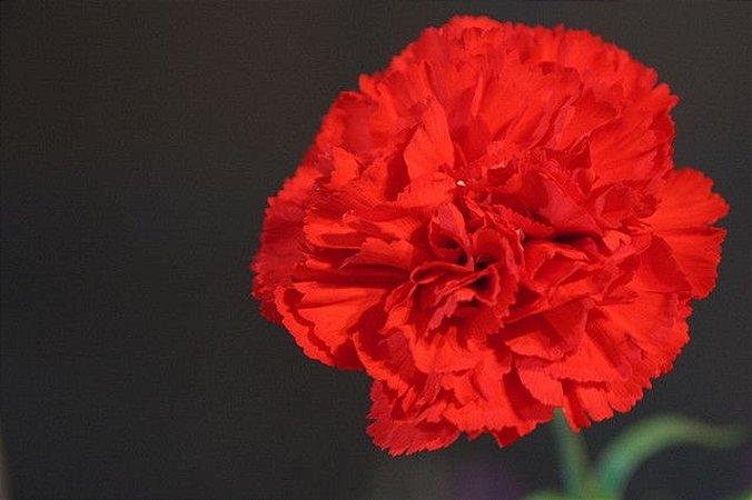 Sementes de Cravo Vermelho: 15 Sementes