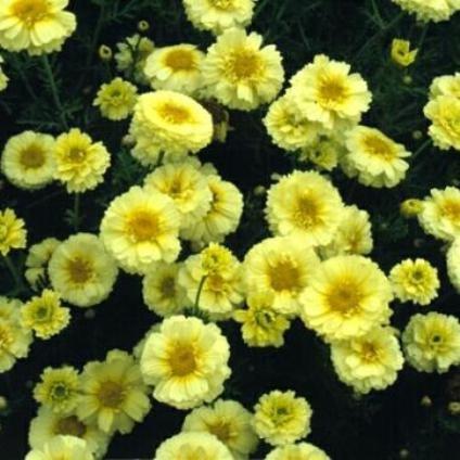 Sementes de Crisântemo Amarelo, Creme e Branco: 20 Sementes