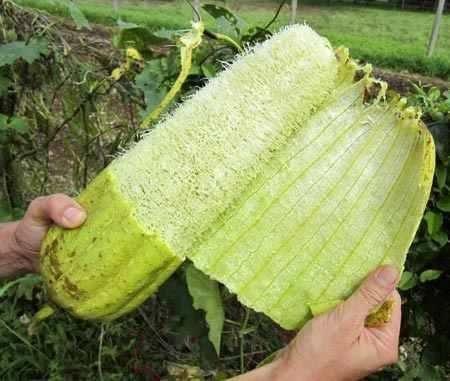 Sementes de Esponja Vegetal (Bucha): 7 Sementes