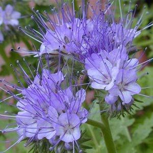 Sementes de Facélia Azul: 20 Sementes