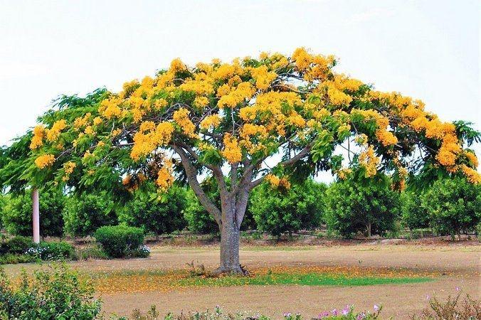 Sementes de Flamboyant Amarelo - Delonix regia sp. - 5 Sementes