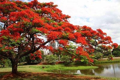 Sementes de Flamboyant Vermelho  - Delonix Regia - 5 Sementes
