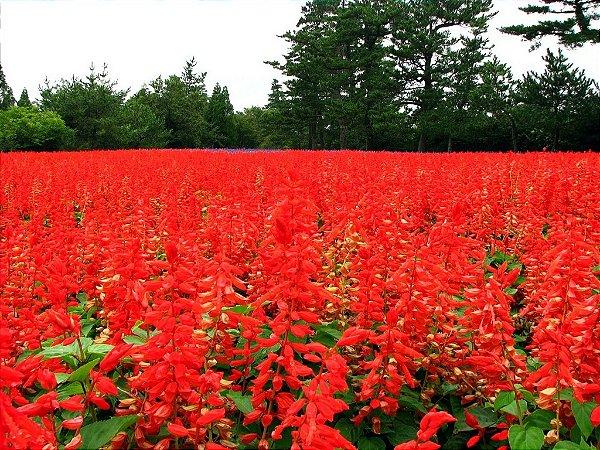Sementes de Flor de Cardeal Alta Vermelha: 20 Sementes