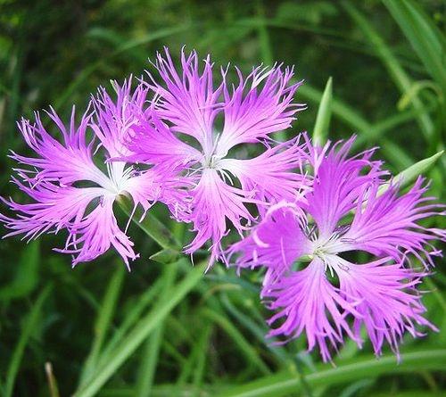 Sementes de Franjas Rosa: 20 Sementes