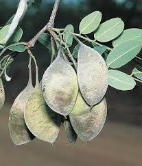 Sementes de Garapa (Apuleia leiocarpa): 5 Sementes