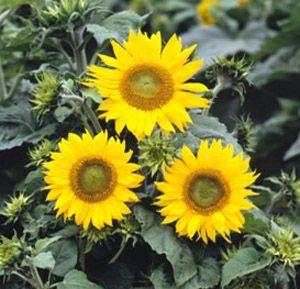 Sementes de Girassol Anão de Jardim: 10 Sementes