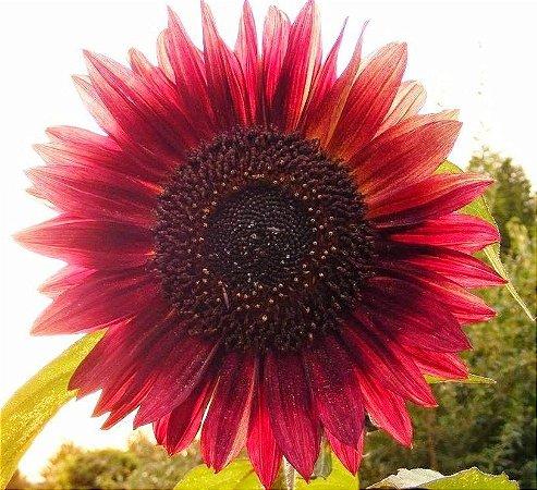 Sementes de Girassol Sol Vermelho: 10 Sementes