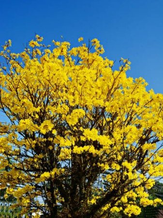 Sementes de Ipê Amarelo do Cerrado - Tabebuia ochracea - 5 Sementes