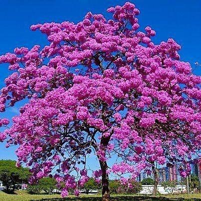 Sementes de Ipê Rosa - Handroanthus avellanedae - 5 Sementes