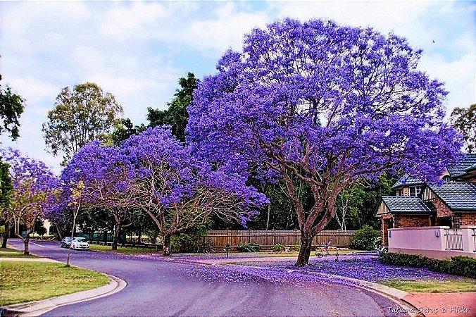 Sementes de Jacarandá Azul Mimoso - Jacaranda mimosifolia Bignoniaceae: 5 Sementes