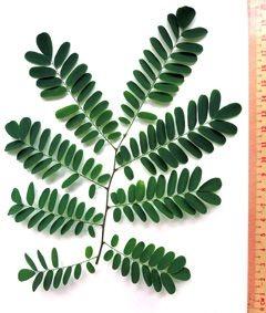Sementes de Jacarandá da Bahia (Dalbergia nigra): 10 Sementes