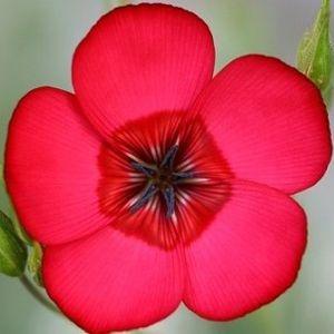 Sementes de Linho de Jardim Vermelho: 15 Sementes