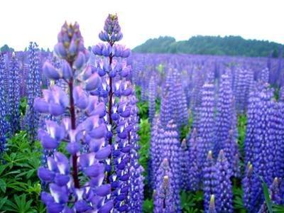 Sementes de Lupino Azul: 15 Sementes