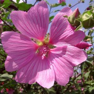 Sementes de Malva Rosa: 15 Sementes