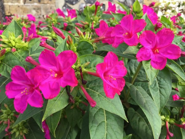 Sementes de Maravilha do Peru Rosa: 15 Sementes