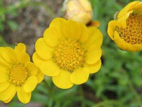 Sementes de Margaridinha Amarela: 20 Sementes