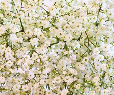 Sementes de Mosquitinho Branco: 20 Sementes