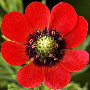 Sementes de Olho de Faisão Vermelho: 20 Sementes