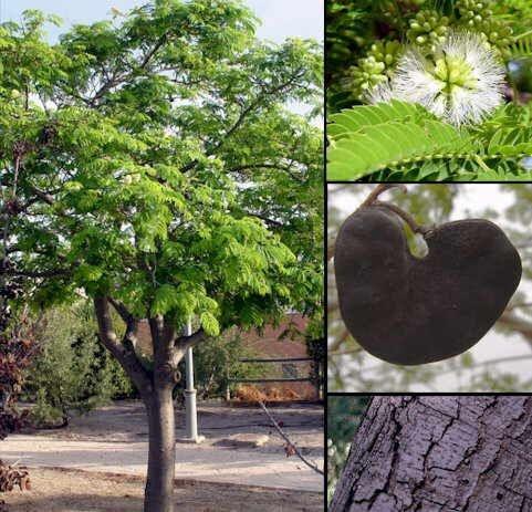 Sementes de Orelha de Macaco (Enterolobium contortisiliquum): 5 Sementes