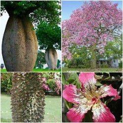 Sementes de Paineira Rosa - Paina Rosa (Chorisia Speciosa): 5 Sementes