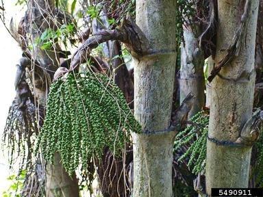 Sementes de Palmeira Caryota Mitis - Caryota mitis Lour - 2 Sementes