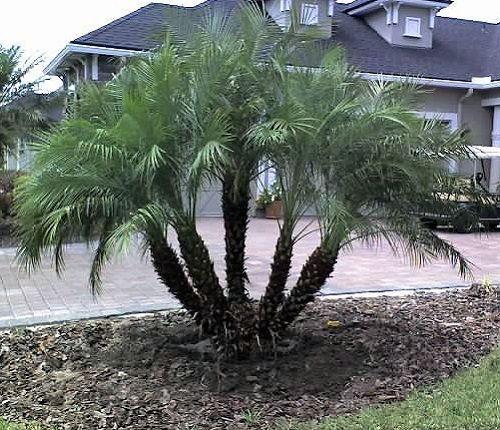 Sementes de Palmeira Fênix Anã - Phoenix roebelenii -5 Sementes