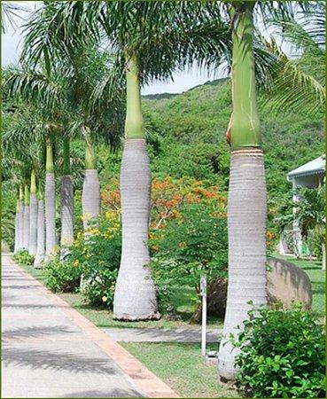 Sementes de Palmeira Imperial - Roystonea Régia - 3 Sementes